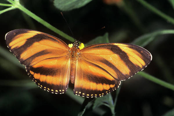 Dione Photograph - Mexican Silverspot Butterfly by M F Merlet/science Photo Library