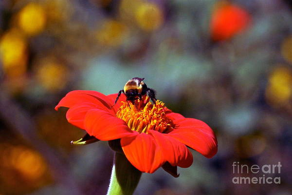 Photograph - Mexican Sunflower Open House Party Time by Byron Varvarigos