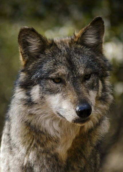 Photograph - Mexican Wolf F890 by Lee Kirchhevel