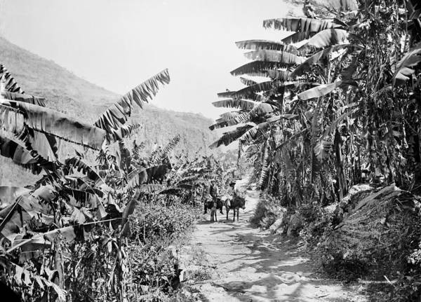 Photograph - Mexico Banana Grove by Granger