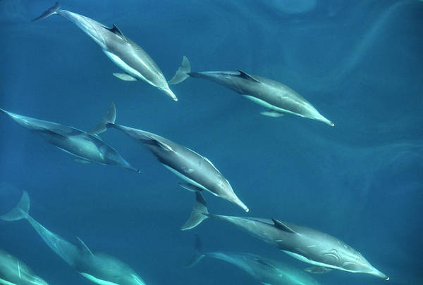 Sea Of Cortez Photograph - Mexico, Sea Of Cortez, Bottlenose by Ann Collins