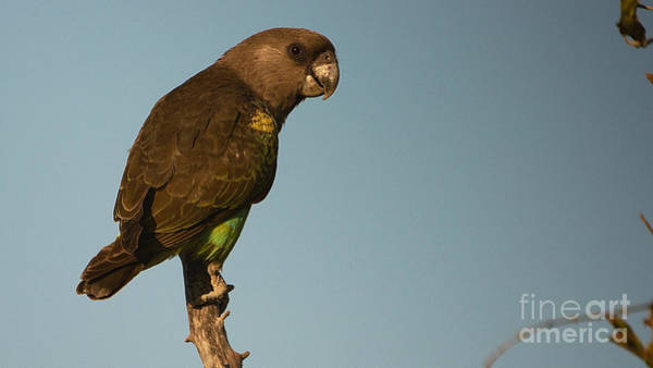 Photograph - Meyer's Parrot by Mareko Marciniak