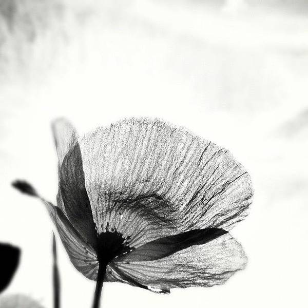 Blackandwhite Wall Art - Photograph - #mgmarts #poppy #summer #spring #sunny by Marianna Mills