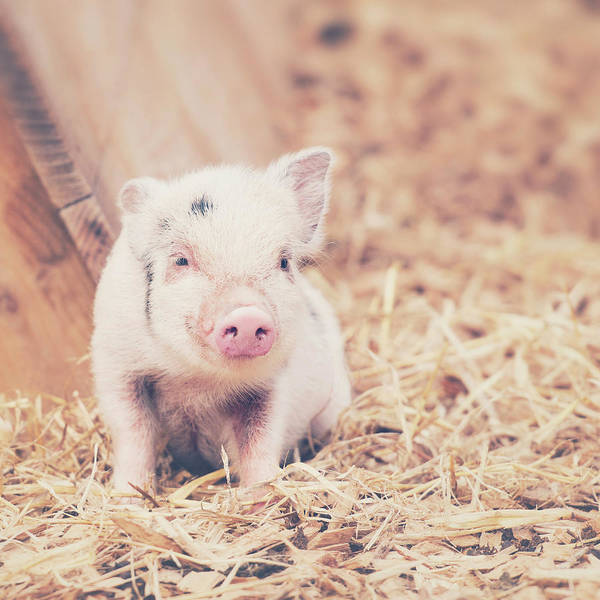 Pig Photograph - Micro Pig by Samantha Nicol Art Photography