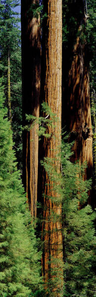Kings Canyon Photograph - Mid Section Of Giant Sequoia Trees by Greg Probst