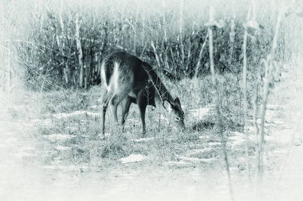 Whitetail Wall Art - Photograph - Mid Winter Browse by Susan Capuano