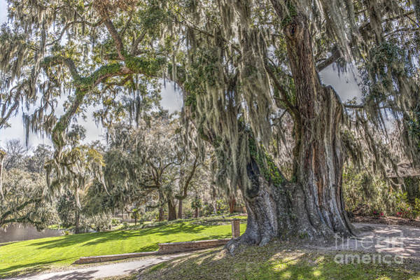 Photograph - Middleton Place Live Oak by Dale Powell