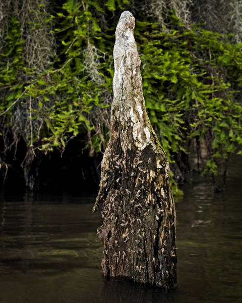 Photograph - Midges On A Cypress Knee by Andy Crawford