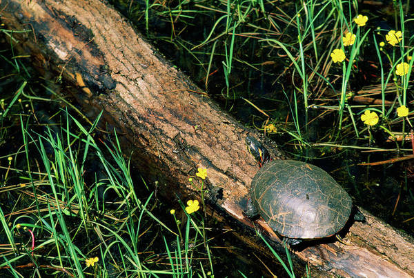 Painted Turtle Photograph - Midland Painted Turtle Chrysemys Picta by Animal Images