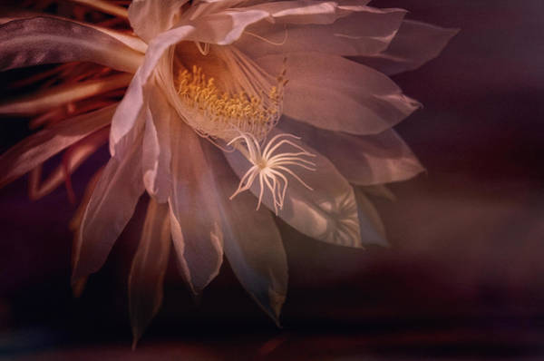 Cactus Flower Photograph - Midnight Bloomer by Susan Capuano