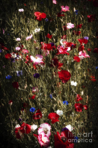 Wall Art - Photograph - Midnight Poppies by Elena Elisseeva