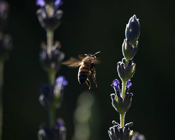 Bee Photograph - Midnight Ride by Joe Schofield