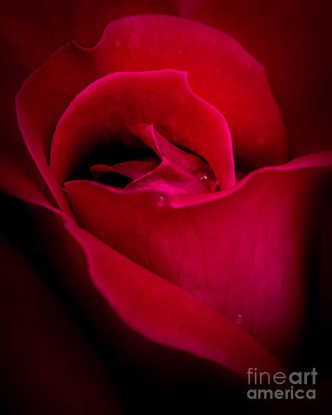 Photograph - Midnight Rose by Michael Arend