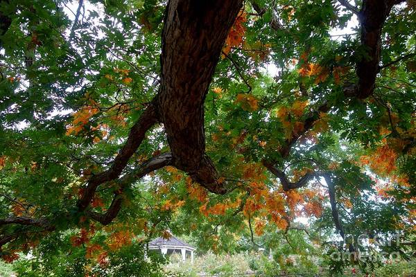 Photograph - Might Fall Oak #3 by Jacqueline Athmann