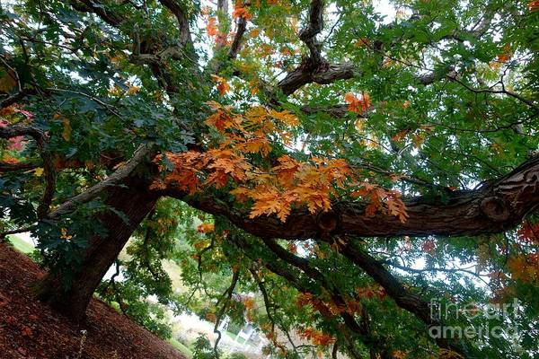 Photograph - Mighty Fall Oak #1 by Jacqueline Athmann