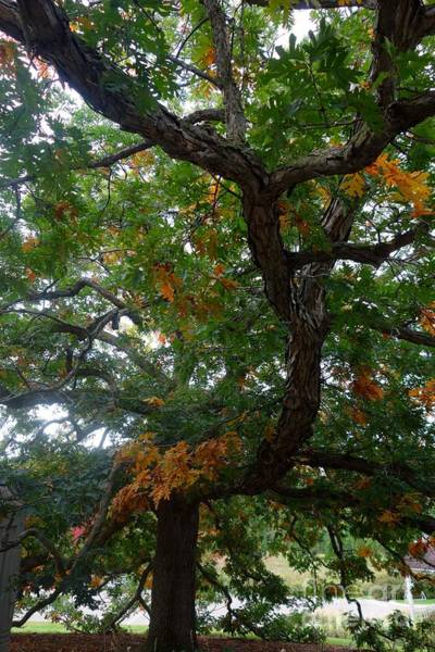 Photograph - Mighty Fall Oak #2 by Jacqueline Athmann