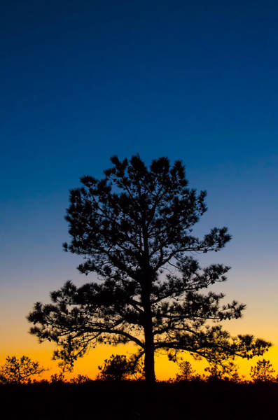 Photograph - Mighty Pine At Sunset by Beth Sawickie