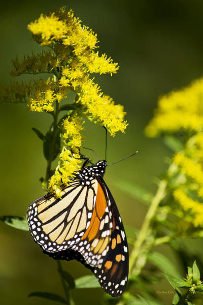 Photograph - Migrating Monarch Butterfly by Christina Rollo