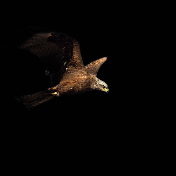 Black Kite Photograph - Milano Negro by Pvicens