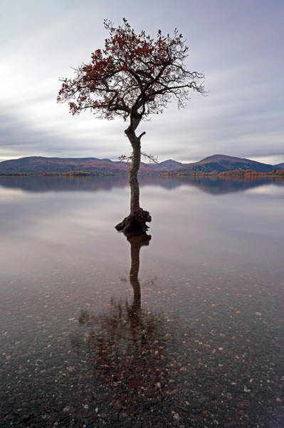 Photograph - Milarrochy Bay Tree by Grant Glendinning