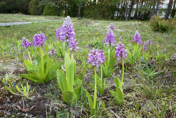 Orchis Photograph - Military Orchid (orchis Militaris) by Bob Gibbons/science Photo Library