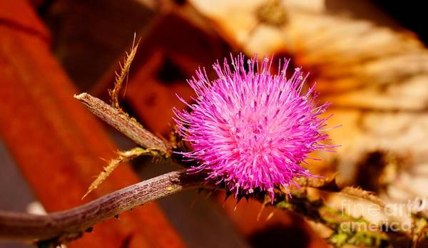 Photograph - Milk Thistle by Kerri Mortenson