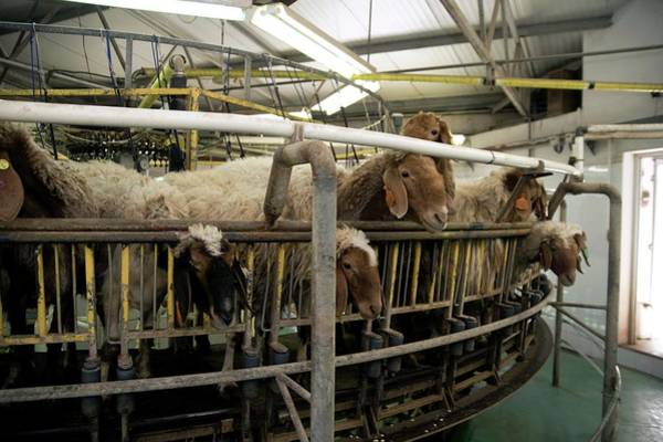 Live Stock Photograph - Milking Sheep by Photostock-israel/science Photo Library