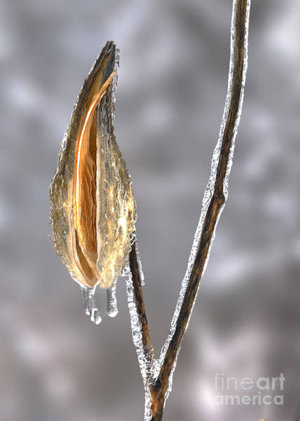 Icy Photograph - Milkweed In Ice by Twenty Two North Photography