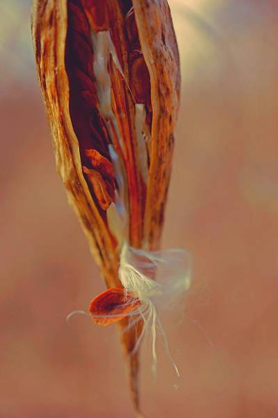 Photograph - Milkweed In Soft Colors by Beth Akerman
