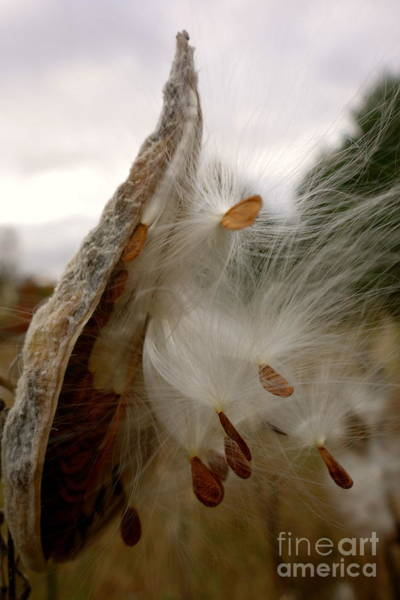 Photograph - Milkweed by Jacqueline Athmann