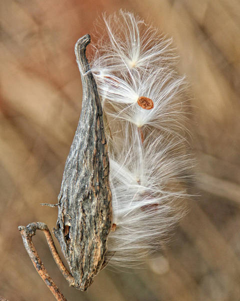Photograph - Milkweed Pod And Seeds by William Selander