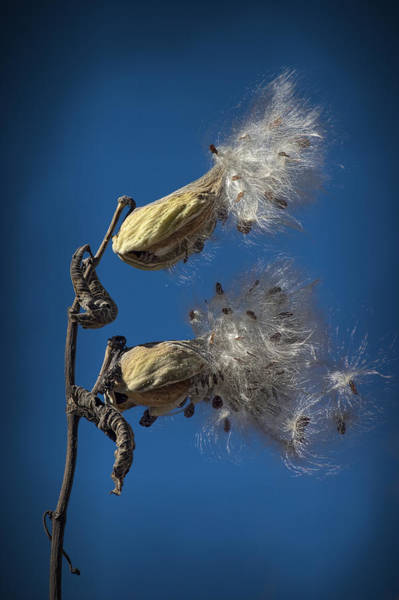 Photograph - Milkweed Pods On A Blue Background  by Randall Nyhof
