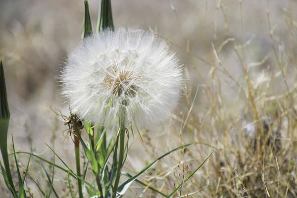 Photograph - Milkweed by Susan Warren
