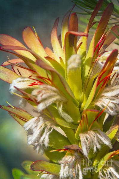Photograph - Mimetes Cucullatus - Proteaceae - Rooistompie by Sharon Mau