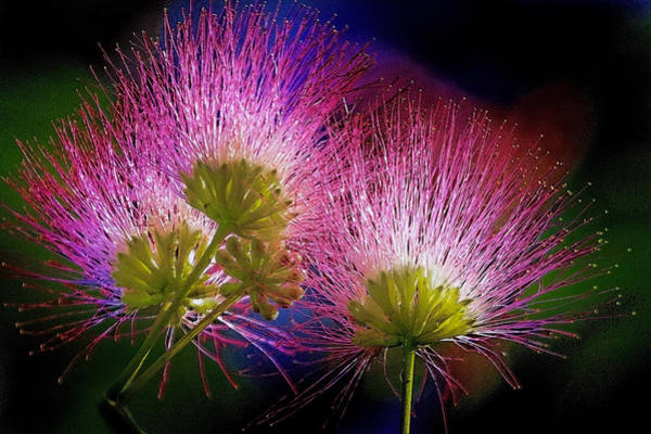 Photograph - Mimosa Blossoms by Jerry Gammon