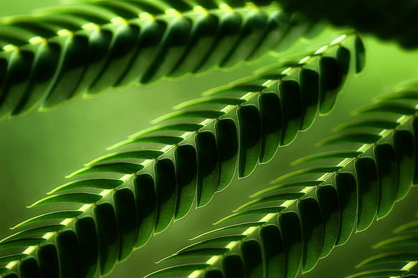 Mimosas Photograph - Mimosa Tree Leaf Abstract by Michael Eingle