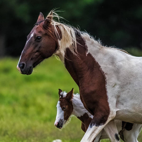 Mare And Foal Photograph - Mini Me by Paul Freidlund
