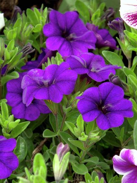 Petunia Photograph - Mini Petunia (calibrachoa 'blue') by Ian Gowland