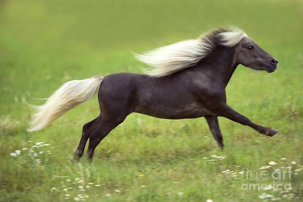 Photograph - Miniature American Horse by Jean-Michel Labat