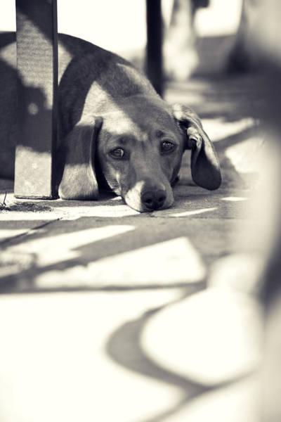 Pet Photograph - Miniature Dachshund  by Samuel Whitton