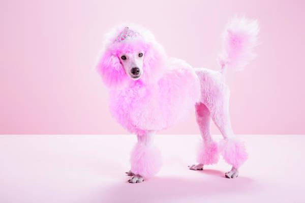 Poodle Photograph - Miniature Pink Poodle, Pink by Jw Ltd