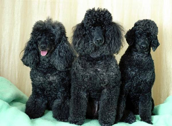 Canis Lupus Photograph - Miniature Poodles by Photostock-israel/science Photo Library