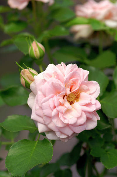 Wall Art - Photograph - Miniature Rose (rosa 'dr. Margrethe') by Brian Gadsby/science Photo Library