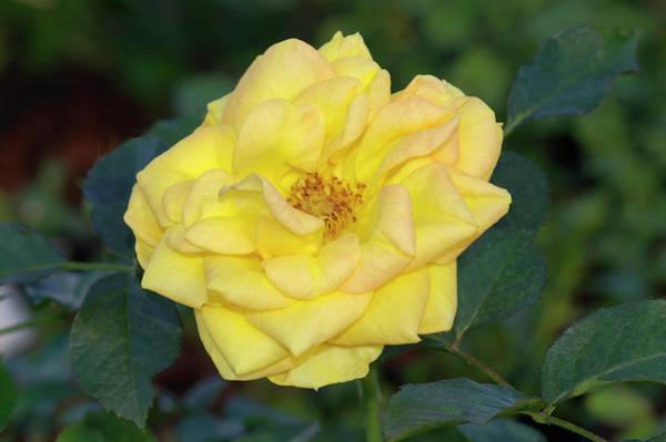 Duke University Photograph - Miniature Rose (rosa 'duke Of Edinburgh') by Brian Gadsby/science Photo Library