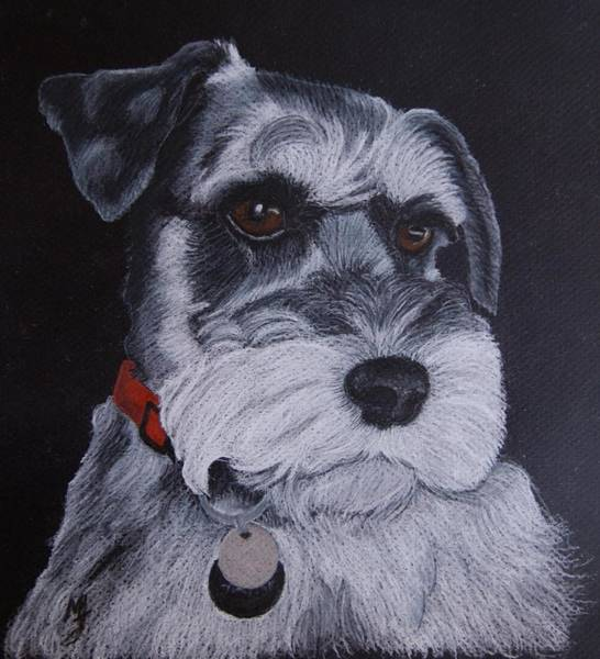 Drawing - Miniature Schnauzer by Melanie Feltham