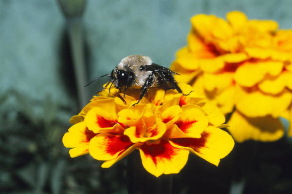Wall Art - Photograph - Mining Bee by Harry Rogers