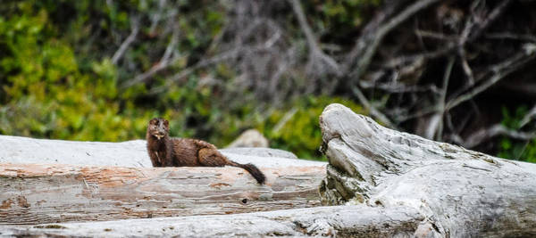 Photograph - Mink by Roxy Hurtubise