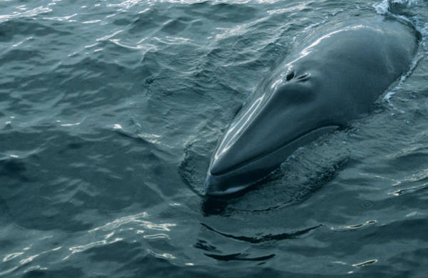 Blowhole Photograph - Minke Whale Head by Christopher Swann/science Photo Library