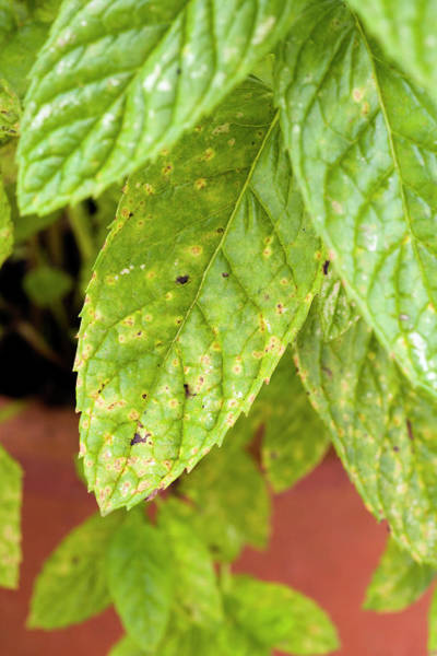 Rust Fungus Photograph - Mint Rust by Geoff Kidd/science Photo Library