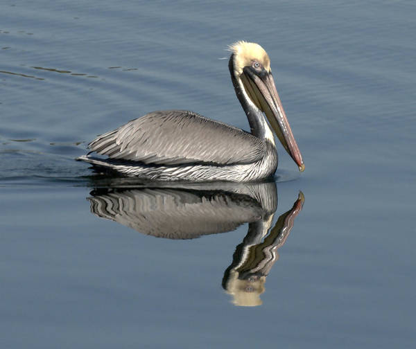 Photograph - Mirror Pelican by Wesley Elsberry